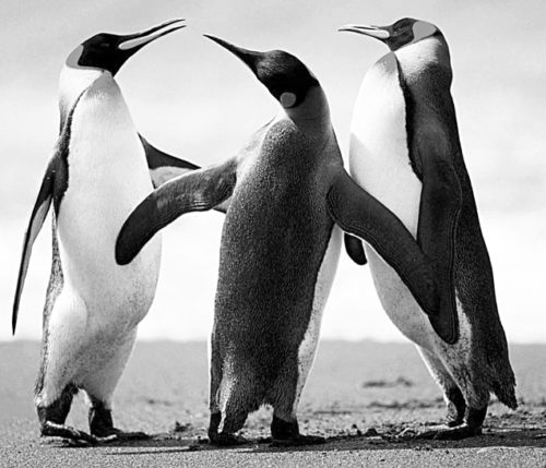 Grayscale image of penguins
