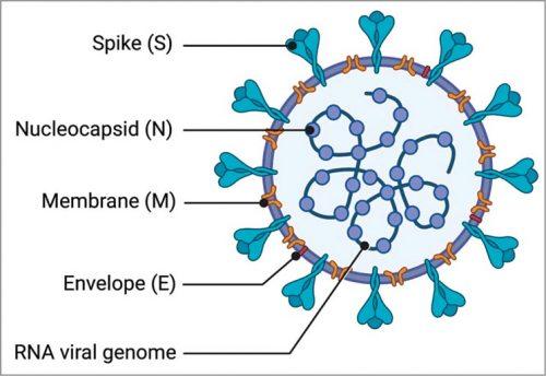 Structure of coronavirus